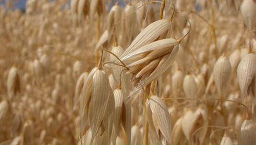 oat-plant