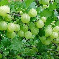 amla-fruit