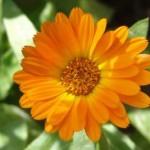 Calendula_officinalis-400x267