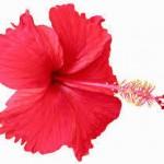 hibiscus-oil-250x250